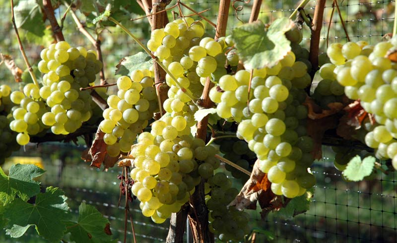 Croteaux white grapes